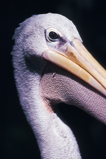 Stock Photo: 1626R-10381 Close up of pelican