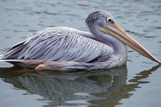 Pelican swimming in water : Stock Photo