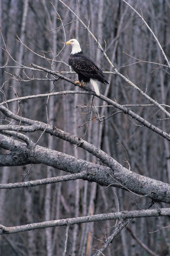 Bald Eagle perched on bare tree : Stock Photo