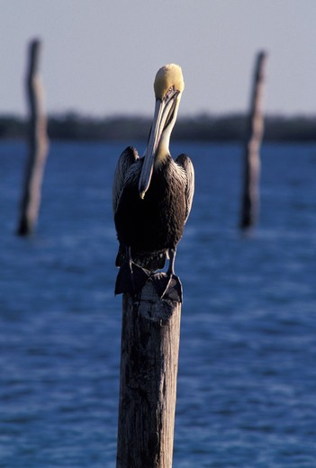 Pelican perching on piling, Isla Mujeres, Mexico : Stock Photo
