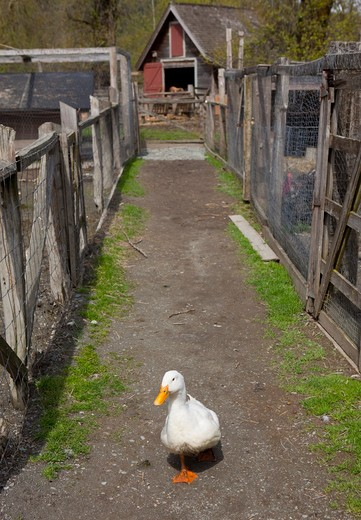 Duck walking down path between livestock pens on farm : Stock Photo