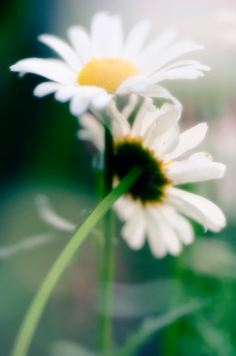 Close up of delicate, blooming white daisies : Stock Photo