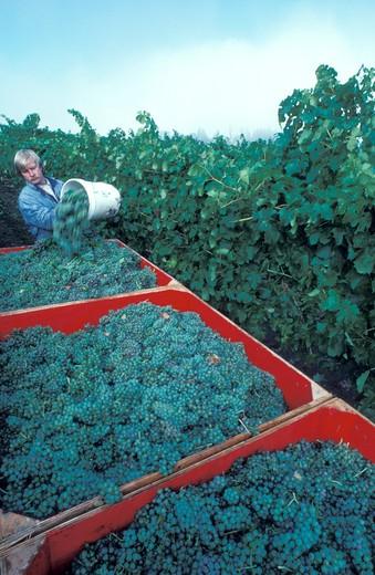Harvesting Grapes : Stock Photo