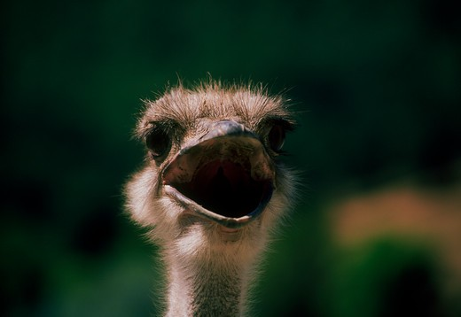 Ostrich Making a Face : Stock Photo