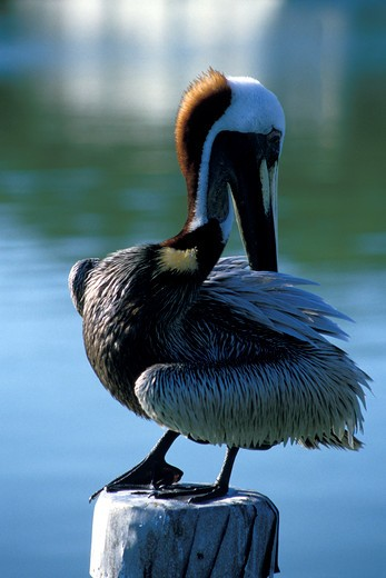Pelican Standing on a Post : Stock Photo