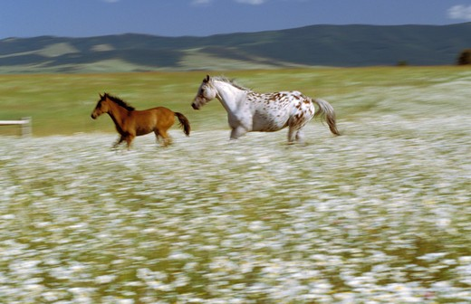Horses Galloping Through Field : Stock Photo