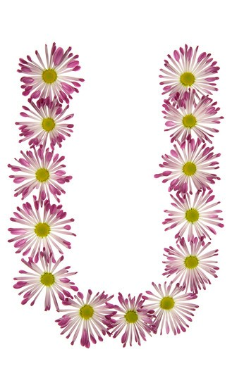 A U Made Of Pink And White Daisies : Stock Photo