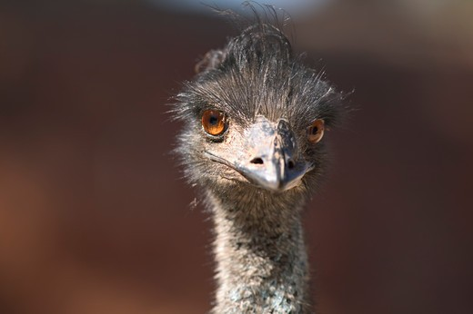 Ostrich Looking At You : Stock Photo