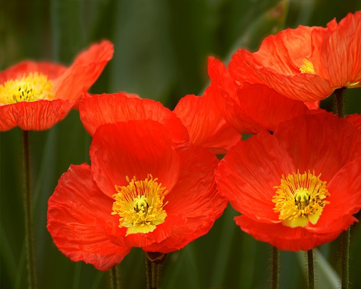 Stock Photo: 1626R-17131 Red Poppies