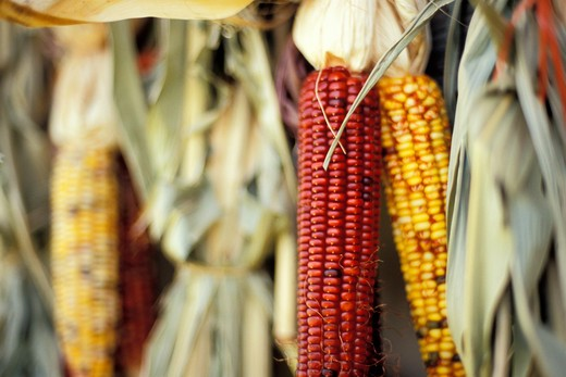Indian Corn : Stock Photo