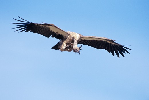 Stock Photo: 1626R-18202 Ruppell's Griffon Vulture Landing