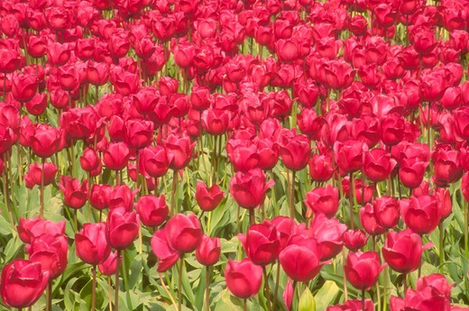Stock Photo: 1626R-18909 Red Tulips