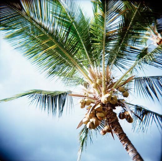 Coconut Palm in Hazy Sky : Stock Photo