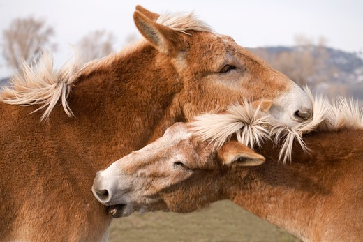 Ranch Horses in Jackson Wyoming : Stock Photo