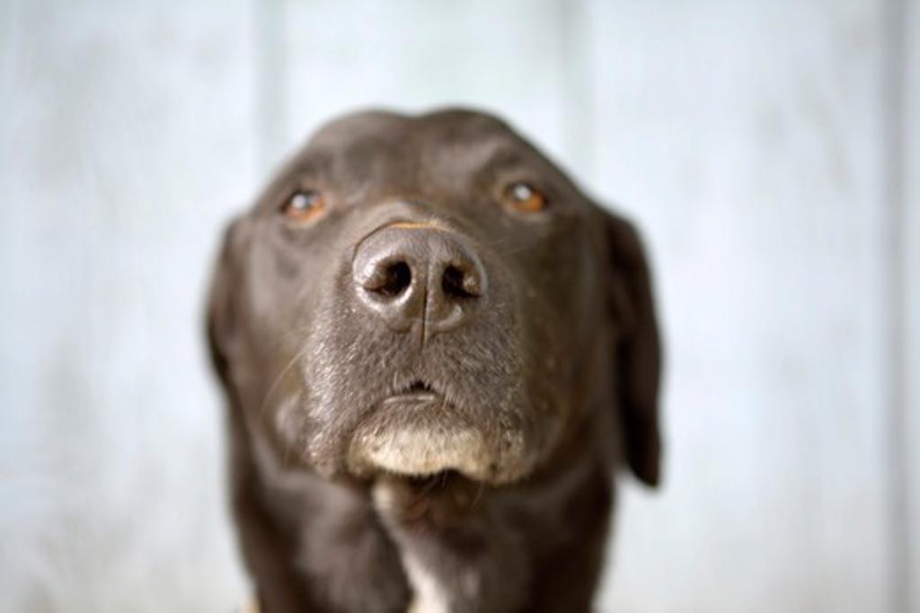 Stock Photo: 1626R-21553 Black Dog Mug Shot