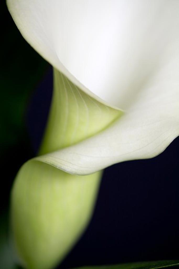 Stock Photo: 1626R-21899 Calla Lily Close-up