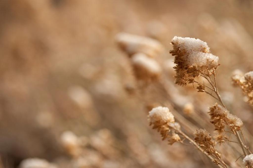 Snow On Dead Stalks : Stock Photo