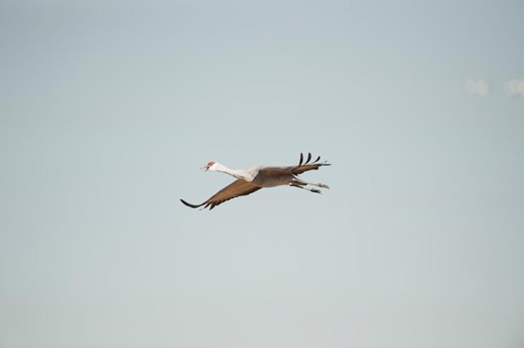 Stock Photo: 1626R-22789 Single Crane In Flight