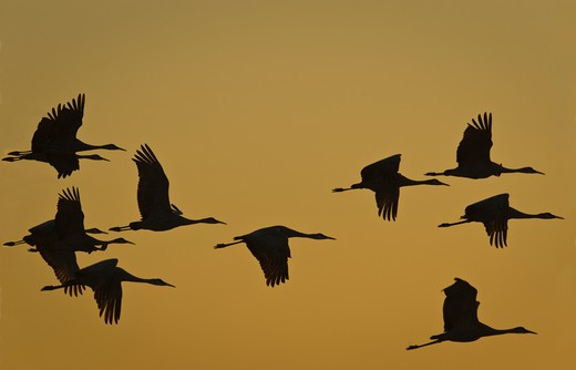 Stock Photo: 1626R-22832 Flock Of Cranes In Flight