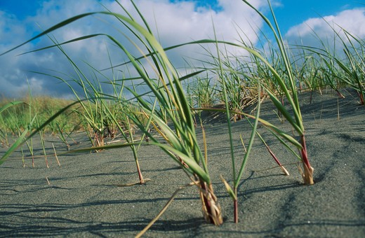 Stock Photo: 1626R-2554 Beach Grass