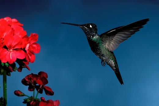 Stock Photo: 1626R-5038 Magnificent Hummingbird