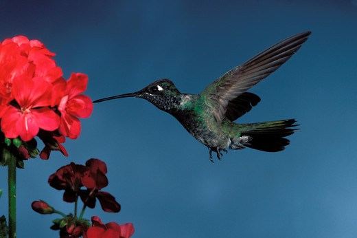 Stock Photo: 1626R-5041 Magnificent Hummingbird
