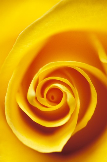 Stock Photo: 1626R-7336 Blooming Rose