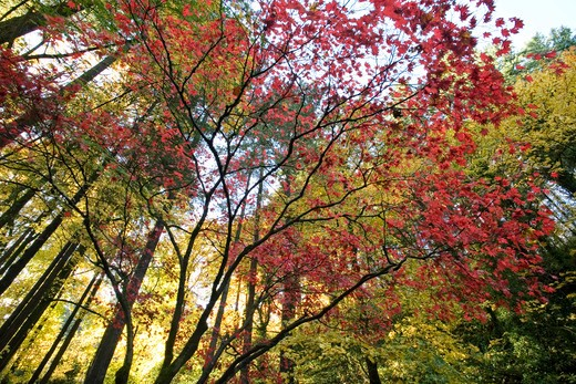 Stock Photo: 1626R-8777 Maple trees, low angle view