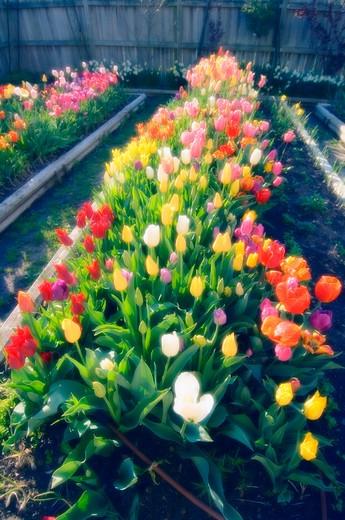 Tulips in plant nursery : Stock Photo