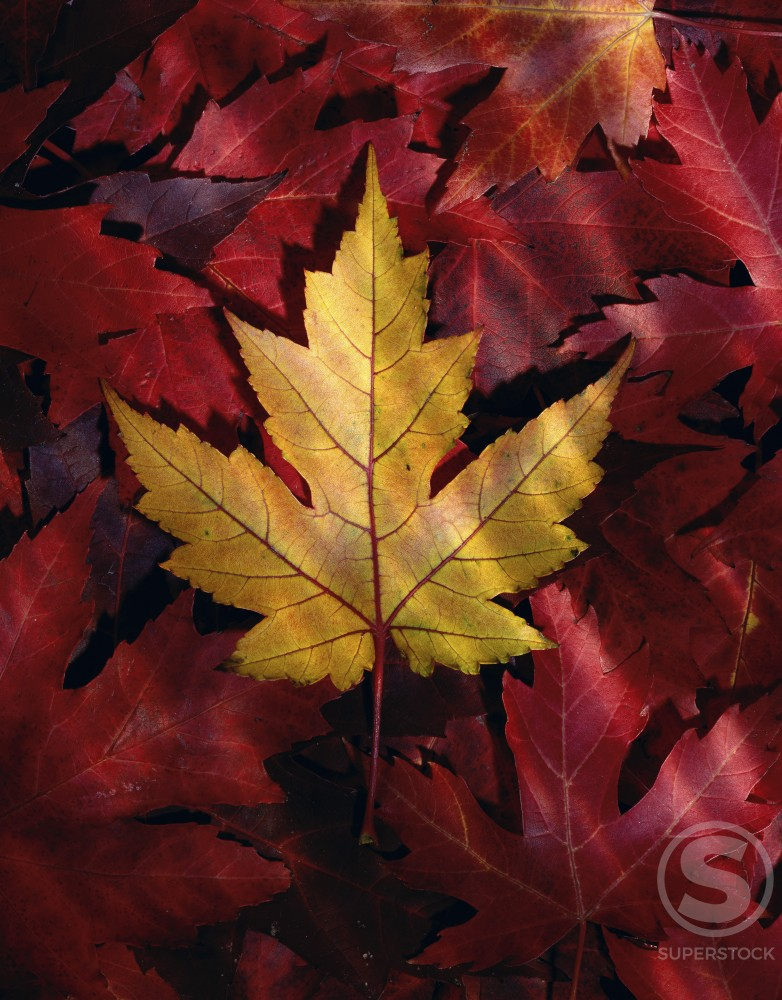 Stock Photo: 164-2352 Maple Leaves