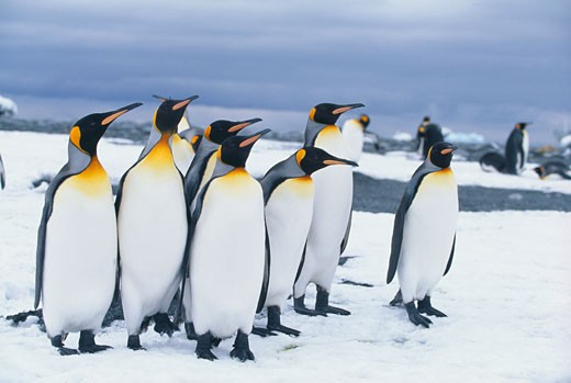 King Penguins Standing in Snow : Stock Photo