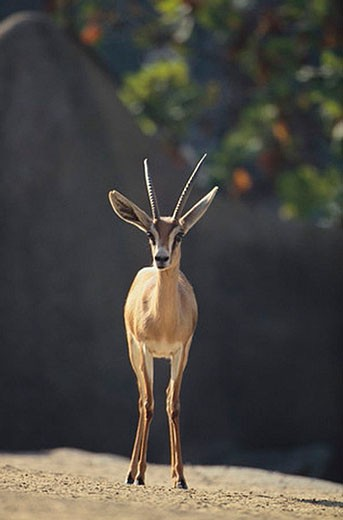 Saharan Dorcas Gazelle : Stock Photo