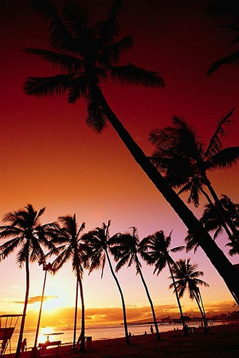 Row of Palm Trees Silhouetted at Sunset : Stock Photo