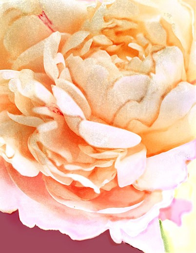 Peach Peony Connie Fekete (b.20th C American) Computer graphics : Stock Photo