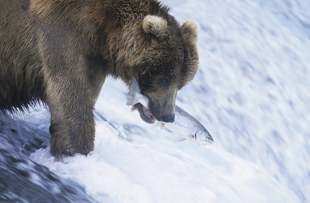 Brown Bear Catching Fish in River : Stock Photo