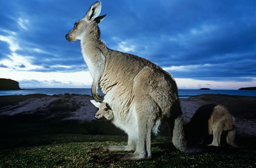 Three generation family of Kangaroos at ocean : Stock Photo