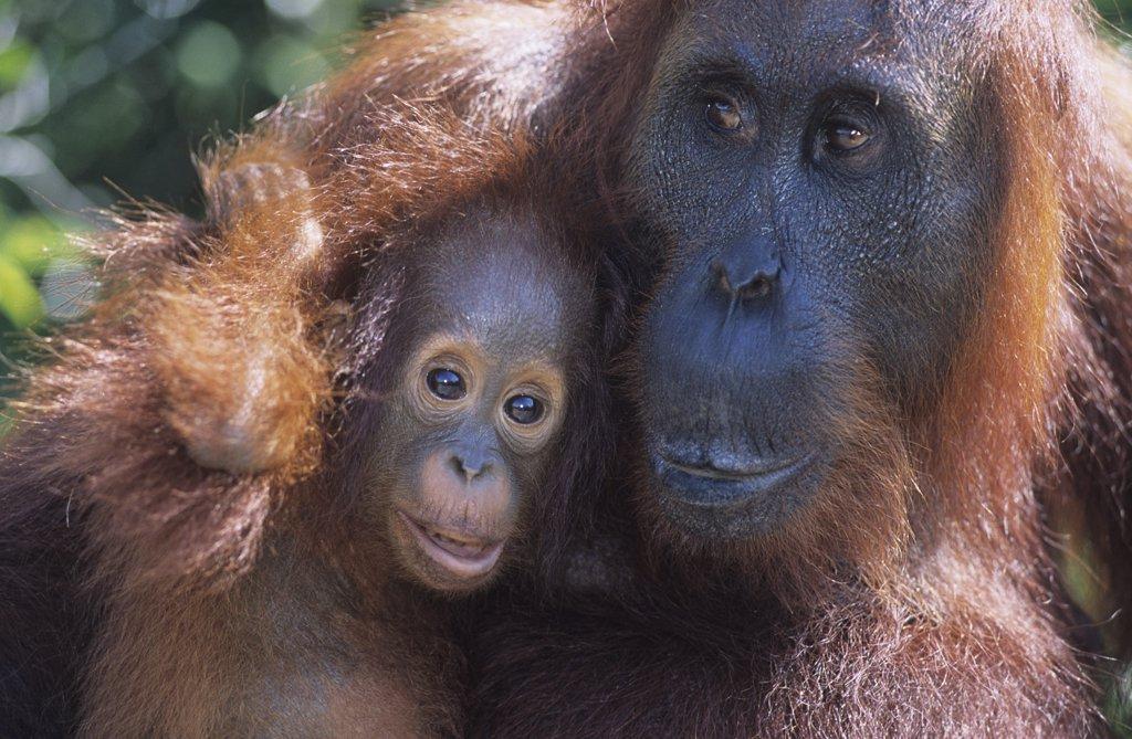 Stock Photo: 1654-18260 Orangutan Mother and Baby