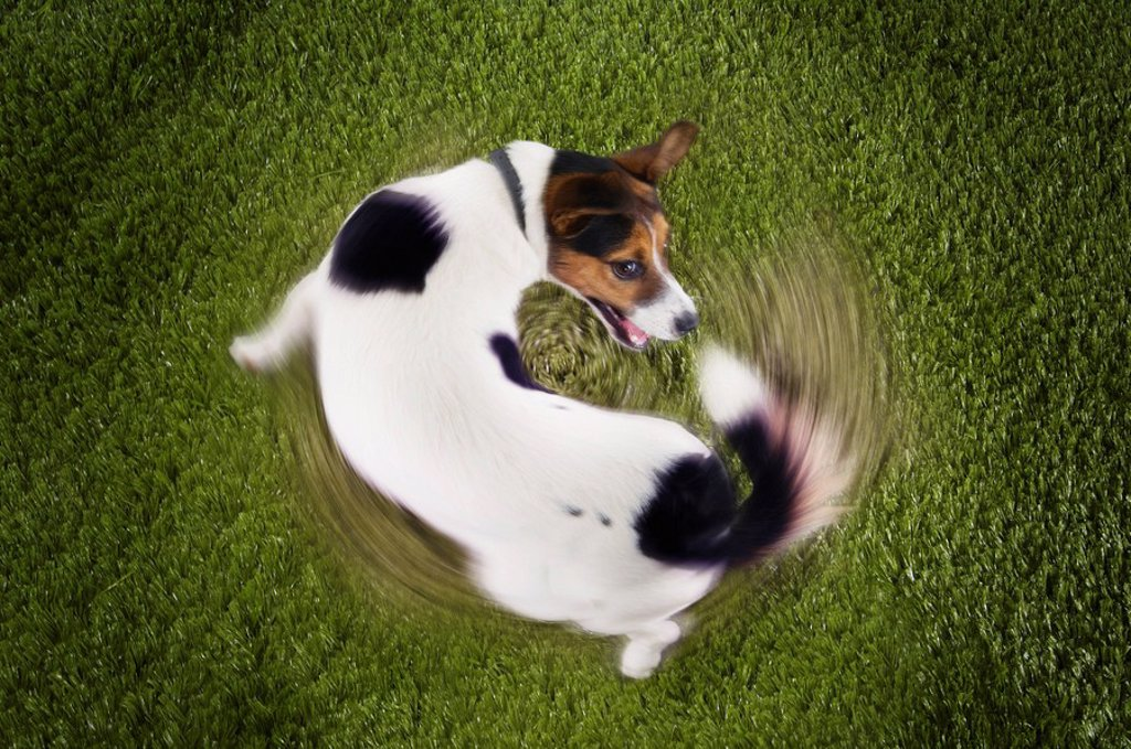 Stock Photo: 1654R-10433 Jack Russell terrier chasing tail view from above