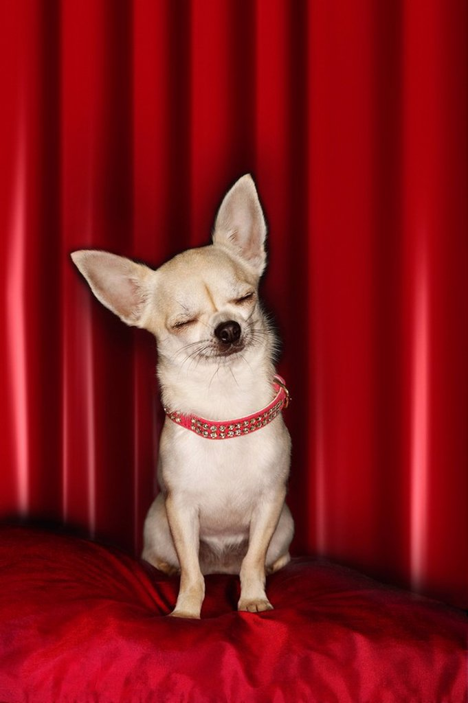 Stock Photo: 1654R-10555 Chihuahua eyes closed sitting on red pillow