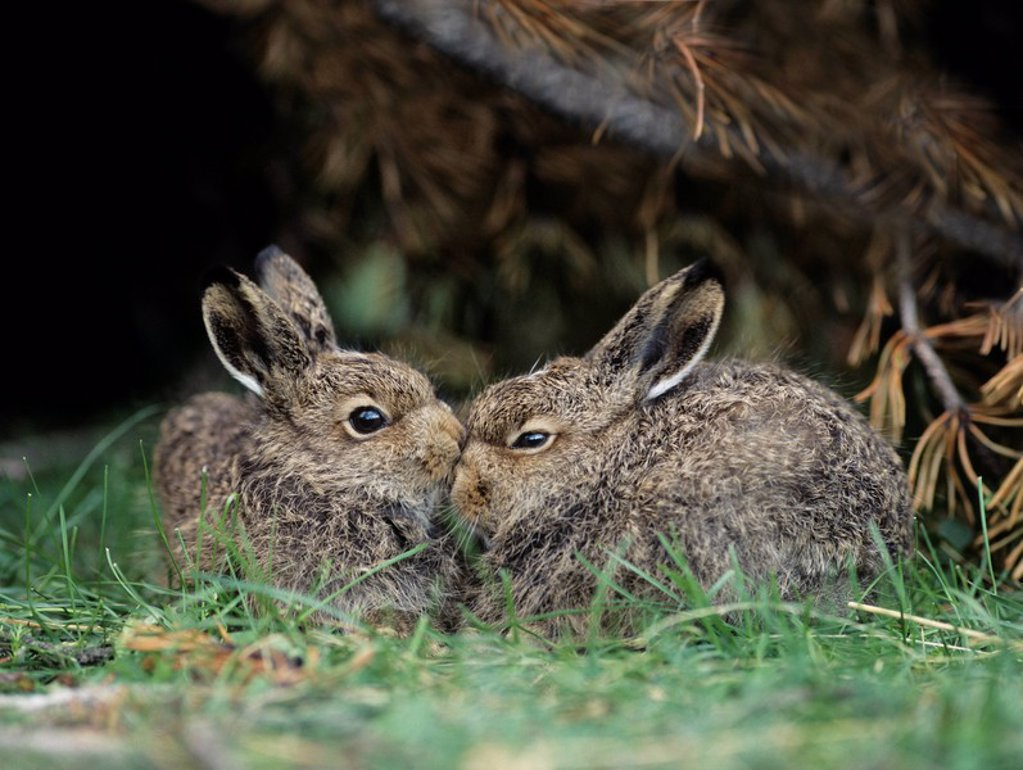 Stock Photo: 1654R-11297 Two young hares sitting by bush