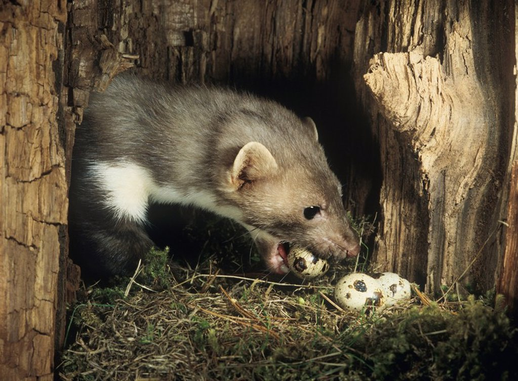Stock Photo: 1654R-11305 Weasel stealing eggs from nest