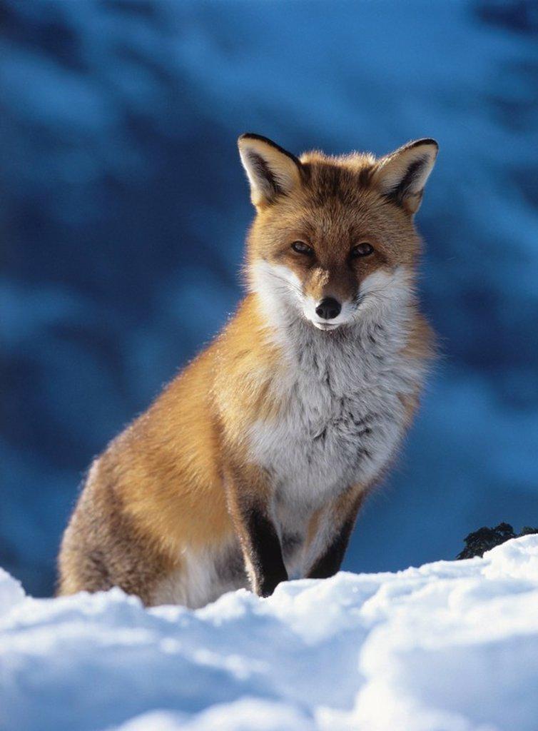 Fox sitting in snow : Stock Photo
