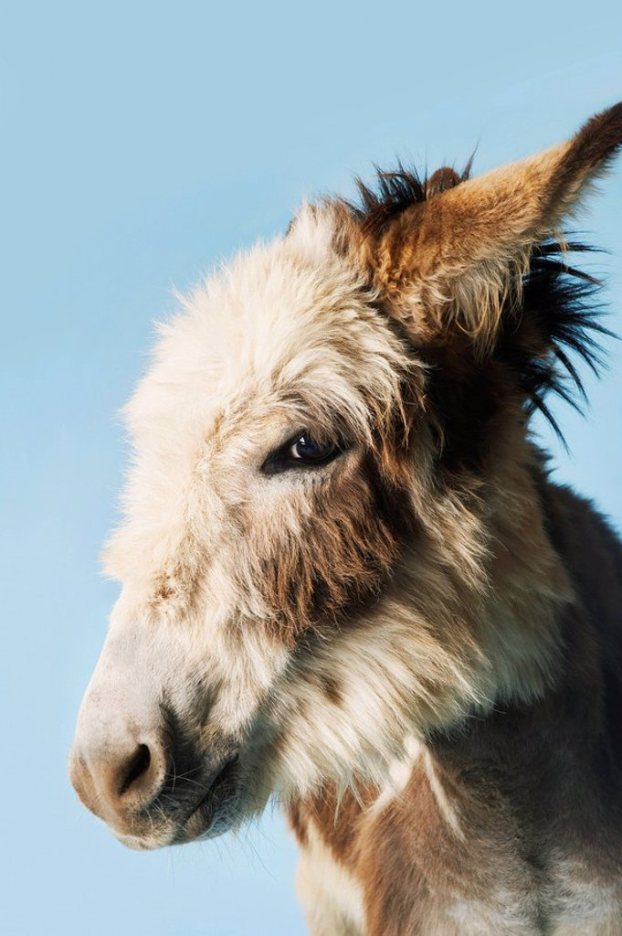 Stock Photo: 1654R-15547 Donkey against blue background close_up of head side view