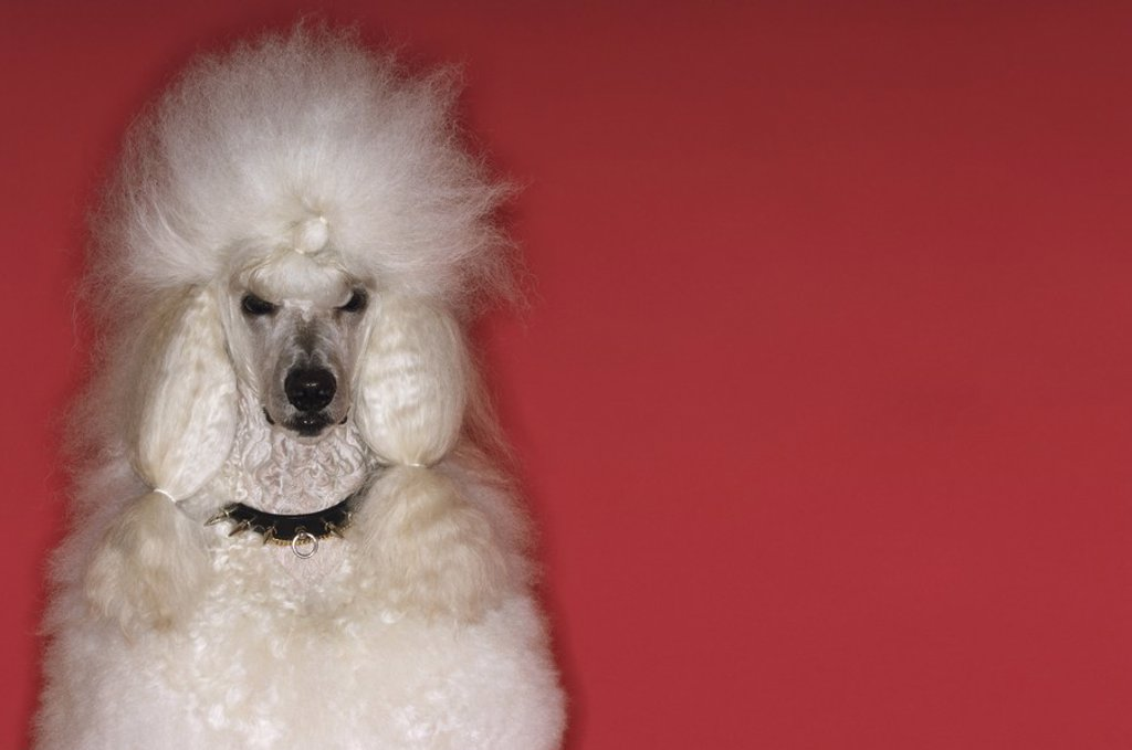 White Poodle : Stock Photo