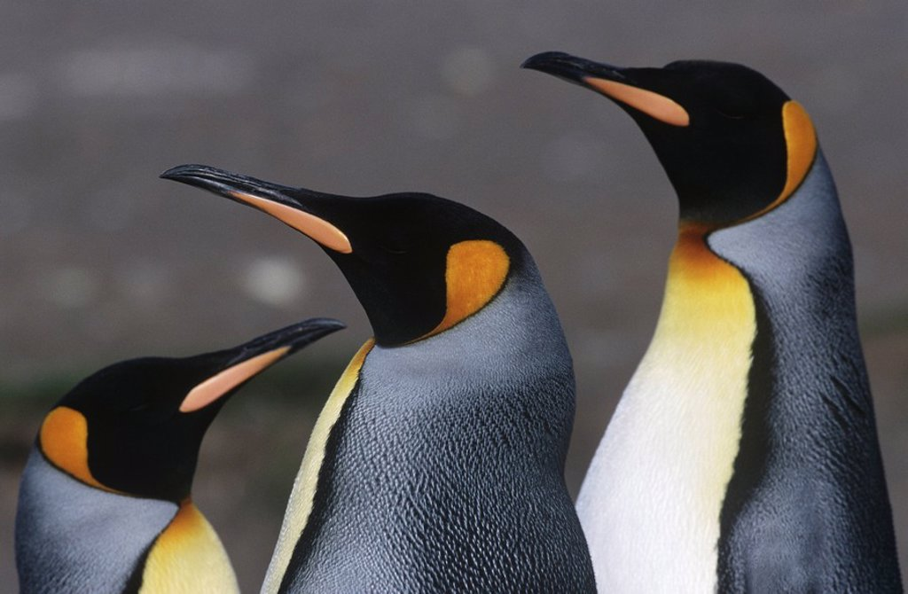Stock Photo: 1654R-24256 UK South Georgia Island three King Penguins close up