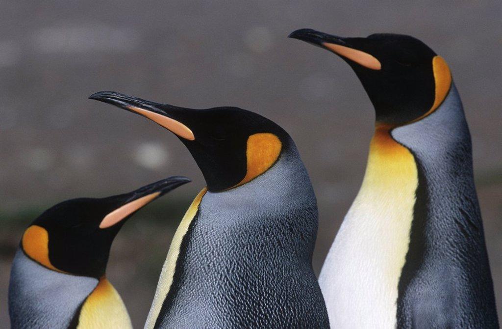 UK South Georgia Island three King Penguins close up : Stock Photo