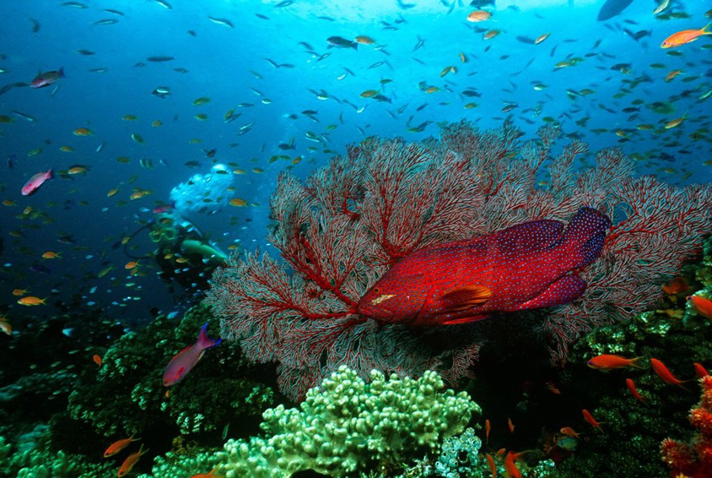 Stock Photo: 1654R-24901 Scuba diver Coral grouper and school of fish on coral reef