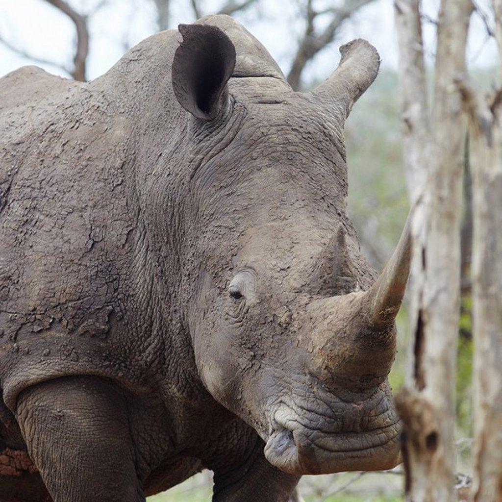 Stock Photo: 1654R-44694 Rhinoceros with sleepy eye