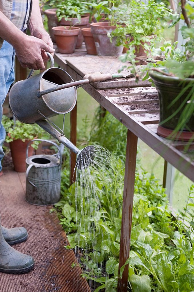 Stock Photo: 1654R-45129 Watering plants in a potting shed