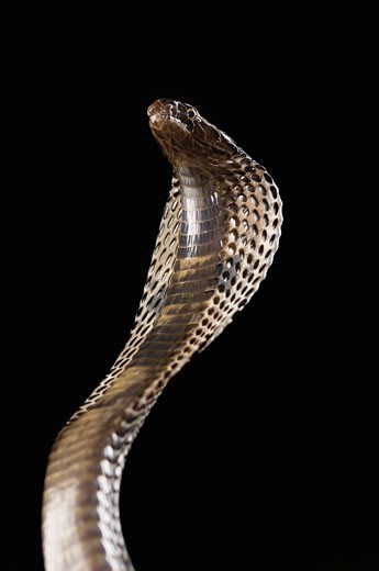Close-up of a cobra rearing up : Stock Photo